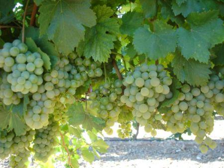 Variedad de uva verdejo - Destino Castilla y León