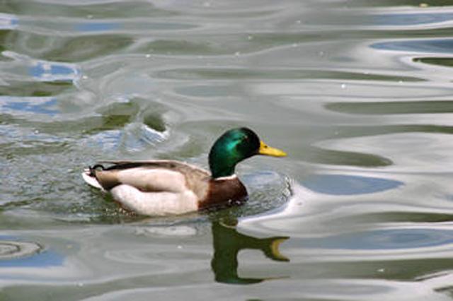 ánade real en embalse cuerda del pozo Fuente: http://www.dicyt.com/