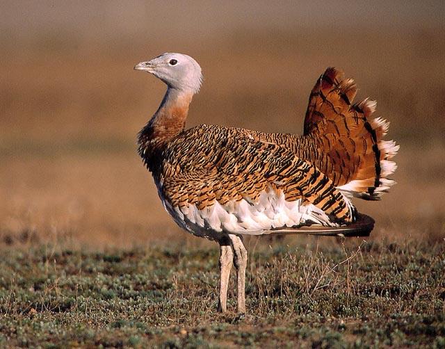 avutarda avistar aves en Castilla y León
