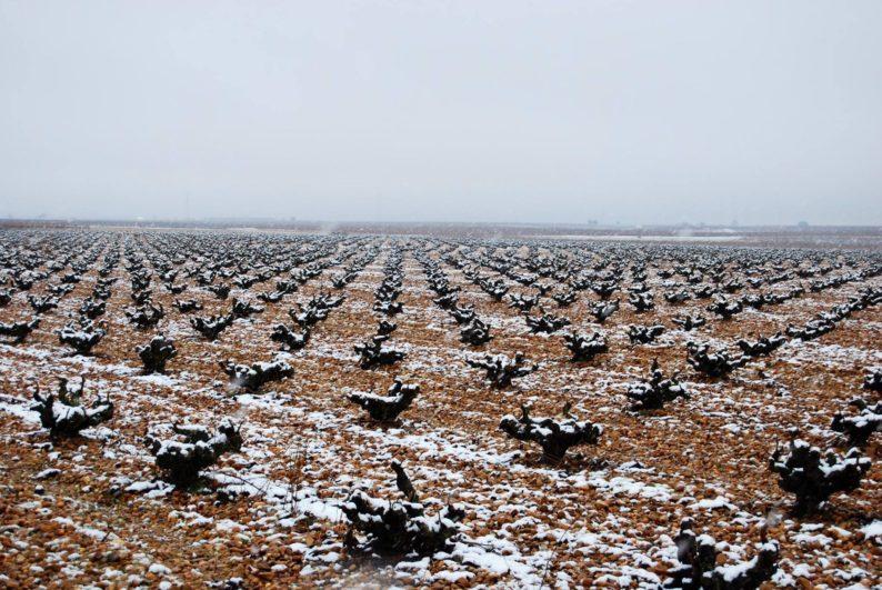 viñedos nevados en la Seca (Valladolid)