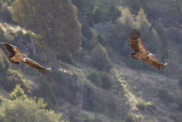 Buitres leonados en las Hoces de Río Duraton avistar aves en Castilla y León