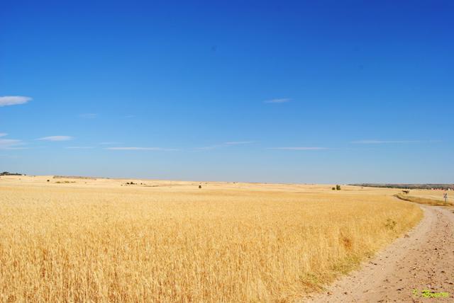 llanuras cerealistas avistar aves en Castilla y León