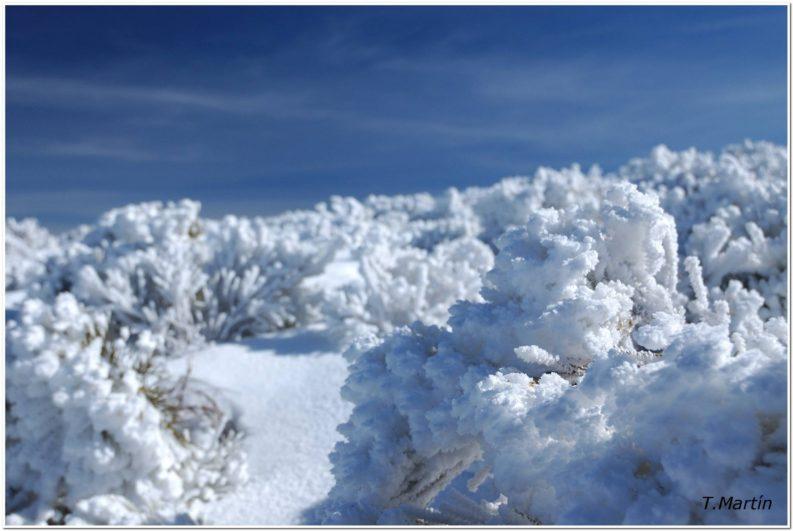 piornos nevados en la Sierra de Gredos