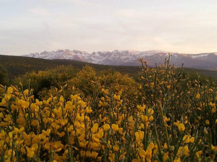 piornos en flor. Fuente: Piornos en Flor-Gredos Norte - Daniel López