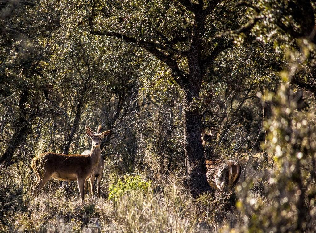 venados en las Riberas de Castronuño - Vega del Duero