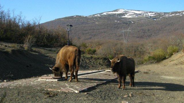 bisonte europeo en Bison Bonasus Fuente: http://www.bisonbonasus.es/
