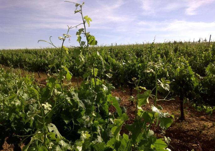 viñedos de uva Prieto Picudo