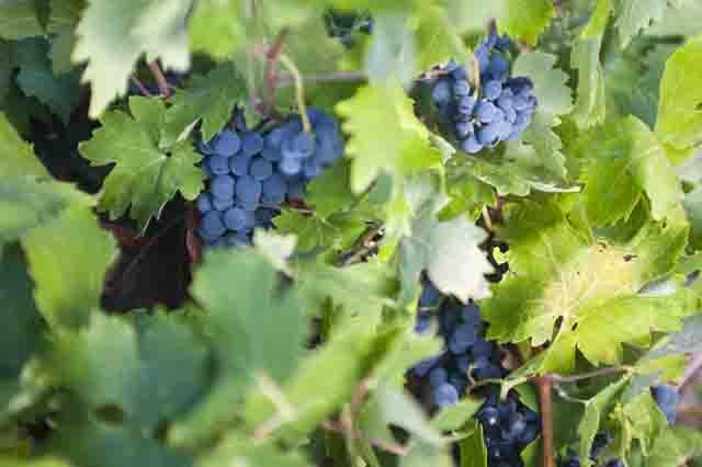 los viñedos en la Ruta del Vino de Rueda