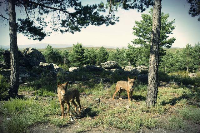 lobos en semicautividad Robledo