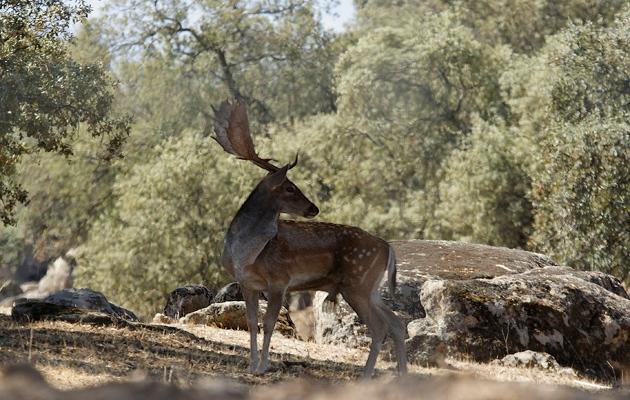 Gamo en el coto de caza de Riofrío - Destino Castilla y León