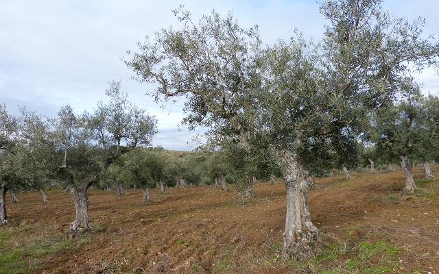 Olivos de Ahigal de los Aceiteros - Destino Castilla y León