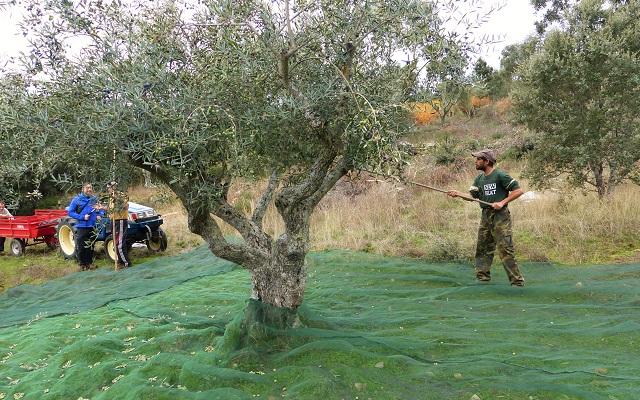 Vareado tradicional en un olivar de Ahigal de los Aceiteros - Destino Castilla y León