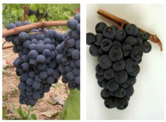 Variedades de uvas típicas de la Denominación de Origen Arribes