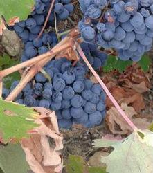 Variedad de uva Garnacha típica de la DOP Cebreros