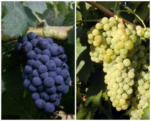 Variedades de uva típicas de la DOP Sierra de Salamanca