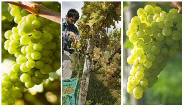 variedades de uva para elaborar Chacolí