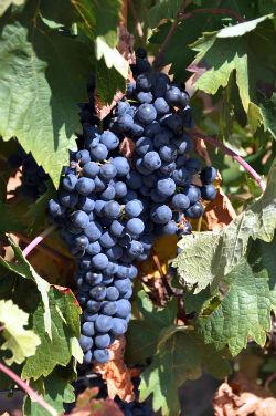 Variedad de uva Tempranillo de Arlanza