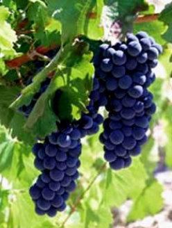 Variedad de uva Tempranillo de Cigales