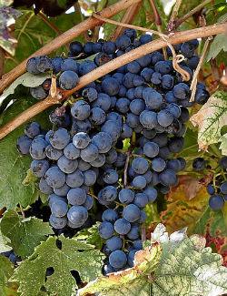 Variedad de uva Tempranillo de la Ribera del Duero