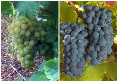 Variedades de uva de El Bierzo