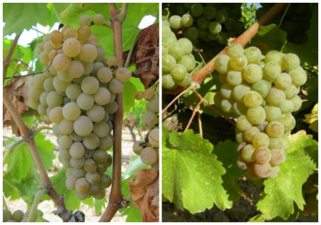 Variedades de uva de Rueda