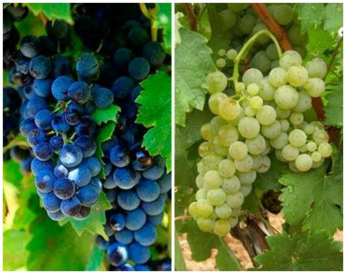 Variedades de uva de la DOP Valtiendas