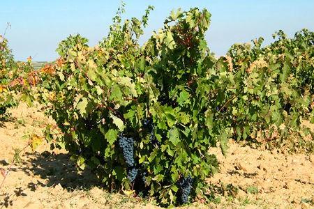Viñas de las Bodegas El Soto en la provincia de Zamora - Imagen de Bodegas El Soto