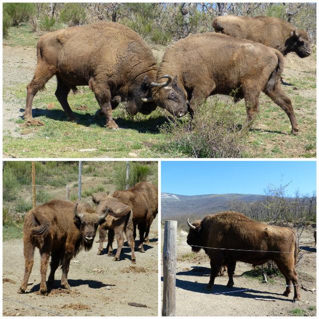 Bisontes Europeos en la reserva de San Cebrián de Mudá Palencia - Destino Castilla y León