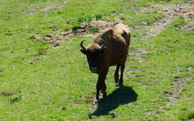 Cría de bisonte europeo criado en la reserva - Destino Castilla y León