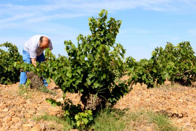 Javier Sanz en sus viñedos prefiloxericos - Destino Castilla y León