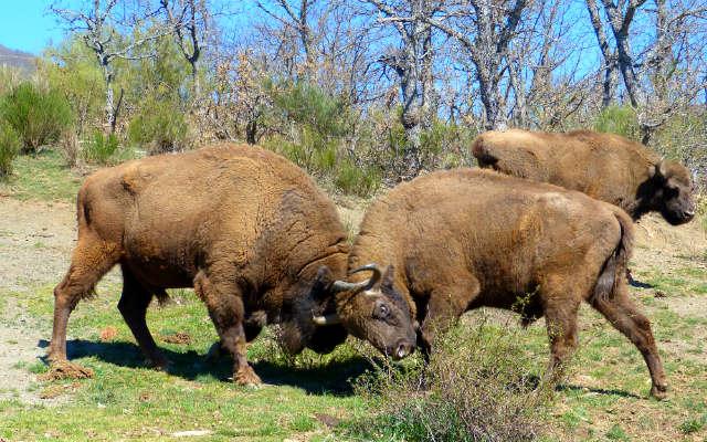 Bisontes europeos en la reserva - Destino Castilla y León