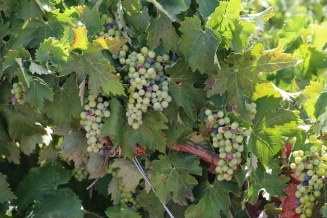 Uvas madurando en sus parras centenarias de La Seca - Destino Castilla y León