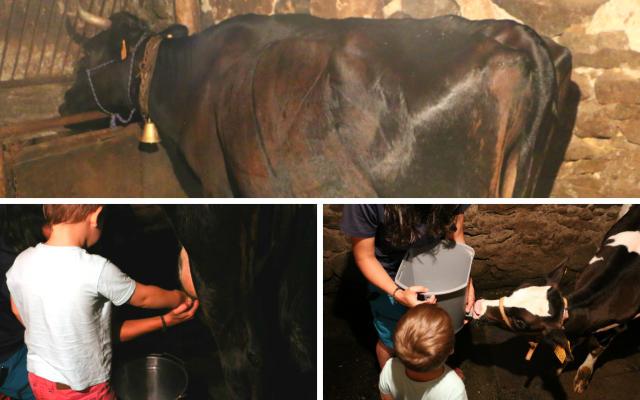 Ordeño de la vaca y dar el biberón al ternero - Destino Castilla y León