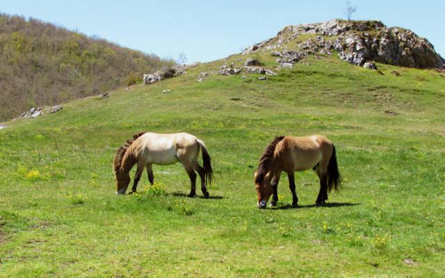 Caballos de Przewalskis en la reserva - Imagen Bison Bonasus