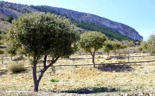 Encinas truferas de Soria - Imagen de Encitruf