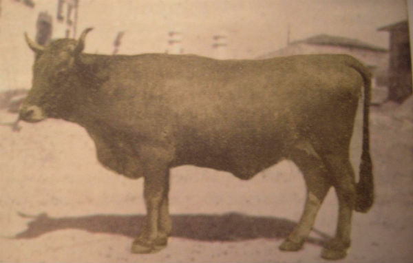 Imagen de la vaca mantequera leonesa, hoy desaparecida - Imagen Wikipedia