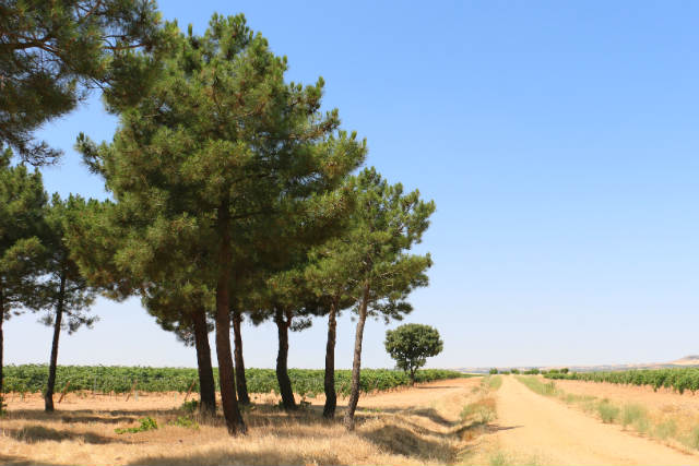 Pinarillos entre las viñas de Bodegas Balbás - Destino Castilla y León