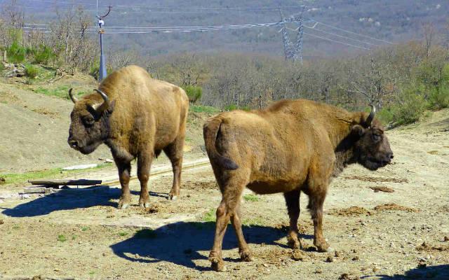 Bisontes europeos en Bison Bosanus - Destino Castilla y León