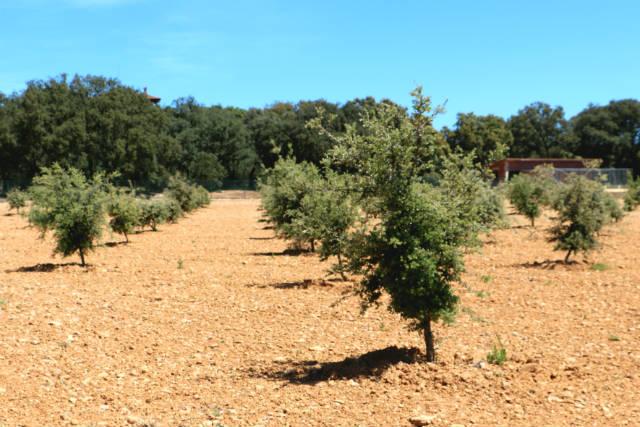 Campo de encinas truferas - Destino Castilla y León