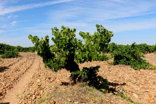 La parra de la variedad colorada - Destino Castilla y León
