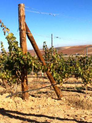 Viñas en Rueda en invierno - Destino Castilla y León