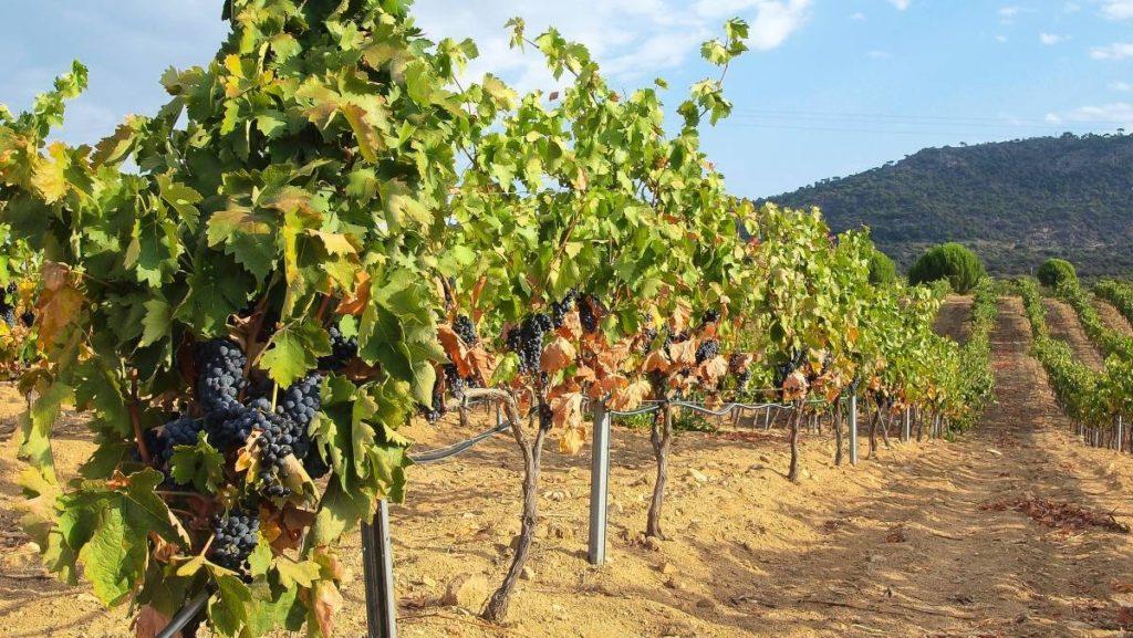 Viñas de cebreros - Destino Castilla y León