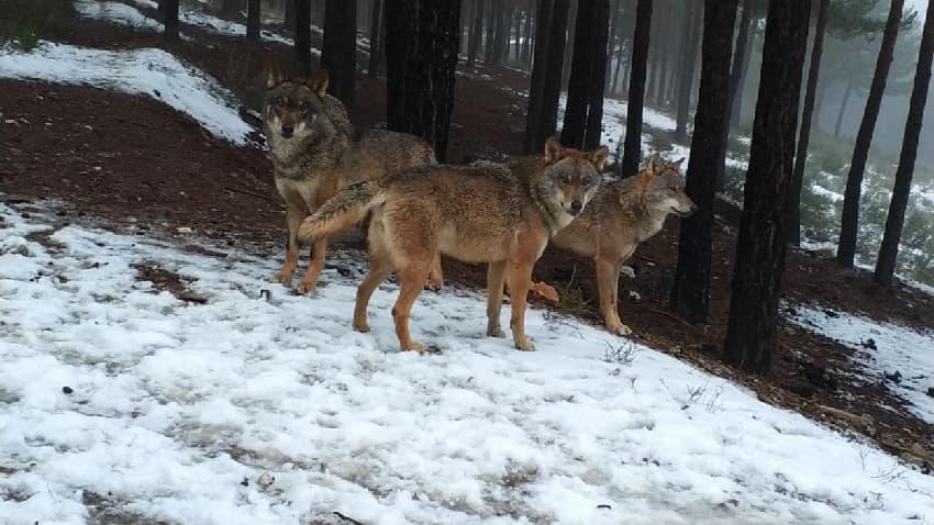 Observar lobos en la nieve, Fuente: centrodellobo.es