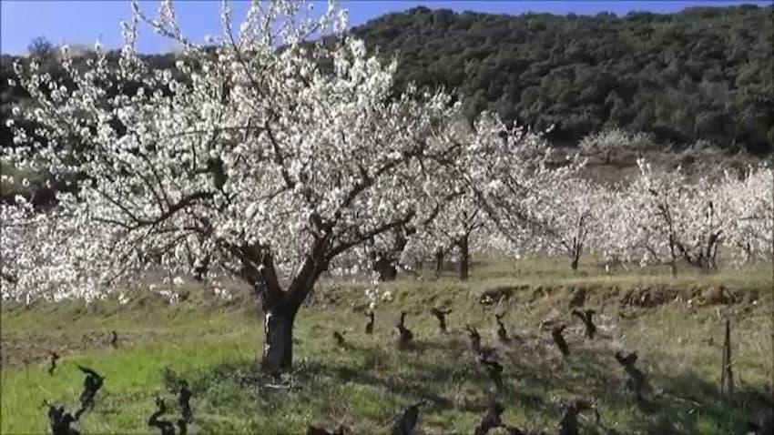 Ruta de los Cerezos en Flor de Corullón