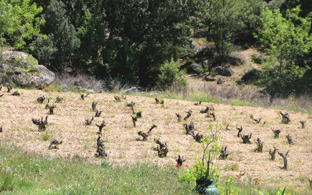 Viñedos floreciendo en Gredos - Destino Castilla y León
