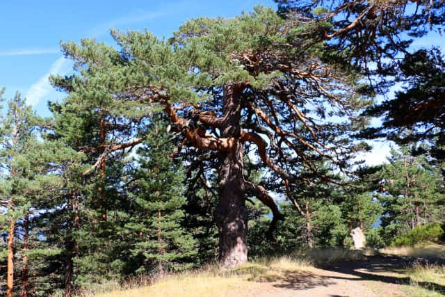 Grandes árboles de Neila - Destino Castilla y León