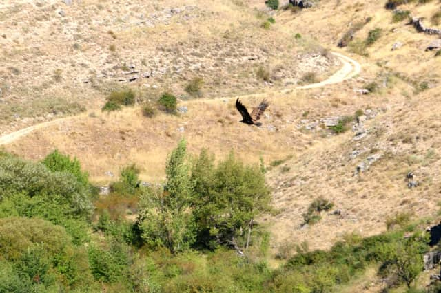 Buitres leonados de las Hoces del Río del Duratón - Destino Castilla y León