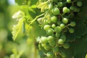 uvas verdejo de Bodega Barco del Corneta