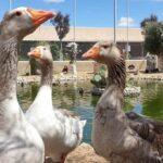 Gansos en el Zoo la Era de las Aves